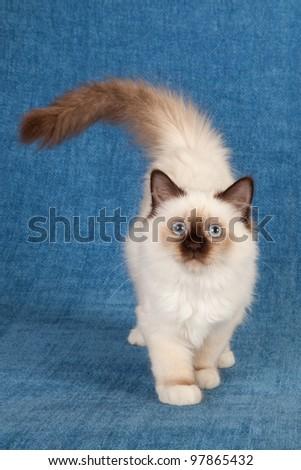 Birman kitten walking on blue background - stock photo