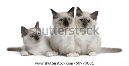 Birman Kittens, 2 months old, in front of white background - stock photo