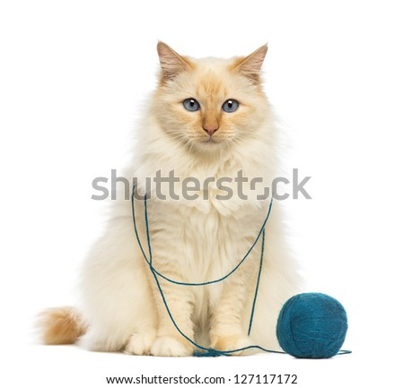 Birman sitting with ball of wool against white background - stock photo