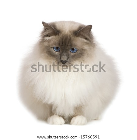 Birman (1 year) in front of a white background - stock photo