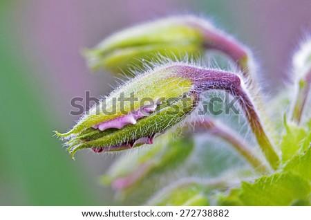 Birth geranium flower - stock photo