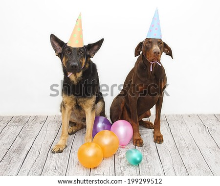birthday dog - brown fun doberman pinscher dog and german shephe - stock photo