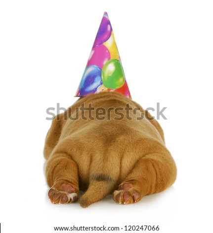 birthday dog - dogue de bordeaux puppy wearing birthday hat photographed from the rear view - stock photo