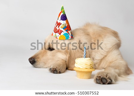 Birthday dog with party hat and cupcake seems unimpressed by his party. Shot on white. Dog is English Golden Retriever.  With copy space.