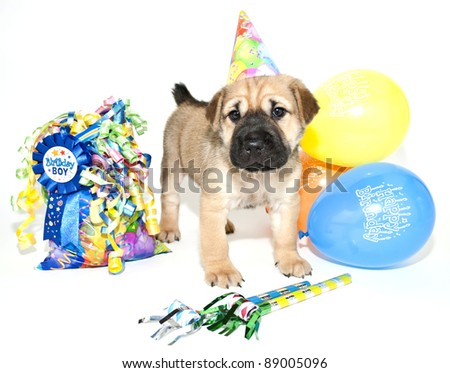 Birthday Shar pei wearing a birthday hat standing with a gift bag and balloons, on a white background.