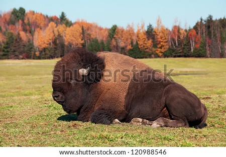 Bison also known as an American  Buffalo Lying Down - stock photo