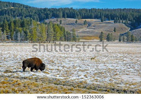 Bison and Coyote Yellowstone National Park, Wyoming, USA - stock photo