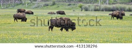 Bison at Antelope Flats, Grand Teton National Park, Wyoming