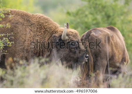 Bison bonasus - European bison - Milovice, Czech republic