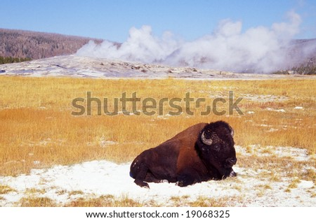 Bison buffalo at the Old Faithful geyser in Yellowstone National park - stock photo