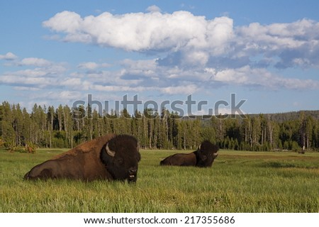 Bison Buffalo resting in Yellowstone National Park in a grassy meadow near Norris Campground with evergreen forest habitat background family summer vacation wildlife Wyoming  environmental portrait - stock photo