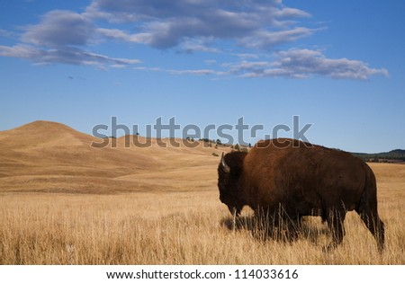 Bison / Buffalo walks off into the prairie's rolling hills; Custer State Park, South Dakota Black Hills - stock photo