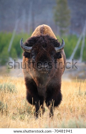 Bison bull with steam coming out of nose.  Yellowstone National Park, Wyoming. - stock photo