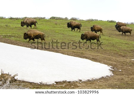 Bison Herd on the move in Yellowstone National Park - stock photo