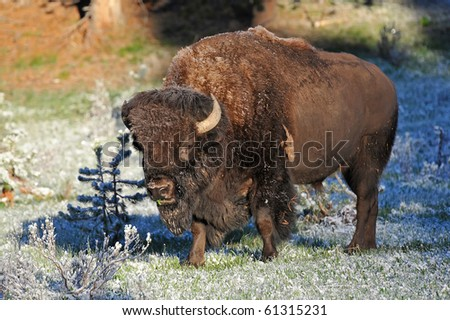 Bison in early morning frost - stock photo