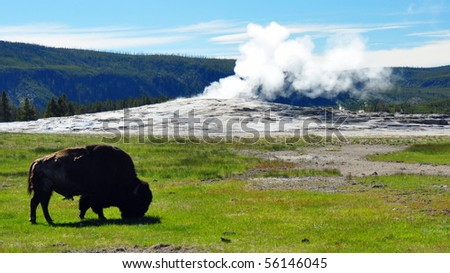 Bison in front of a steaming Old Faithful, Yellowstone National Park - stock photo
