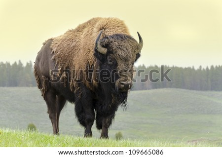 bison in grasslands of Yellowstone National Park in Wyoming in the United States of America - stock photo
