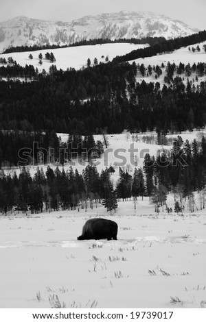 Bison in Lamar Valley - stock photo
