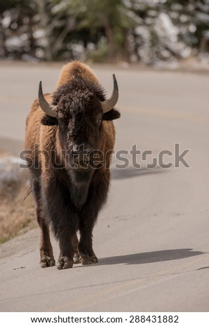 Bison in the middle of the road, looking directly at photographer - stock photo