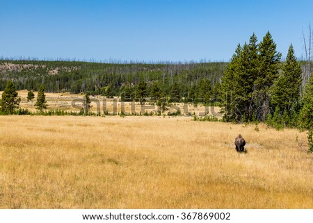 Bison in Yellowstone National Park - stock photo