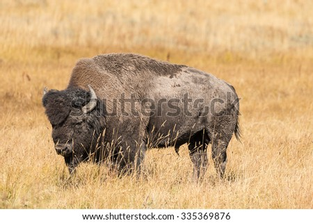Bison in Yellowstone National Park Wyoming - stock photo