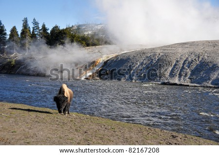 Bison near Excelsior geyser - stock photo