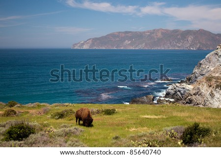 Bison on Catalina