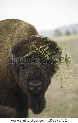 Bison or American Buffalo having a bad hair day, near Buffalo Gap, South Dakota - stock photo