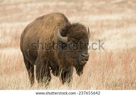 bison or American buffalo in prairie field with open mouth - stock photo