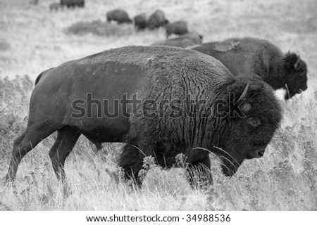 Bison Range - stock photo