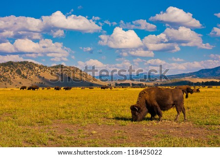 Bison show in Grand Teton National Park - stock photo