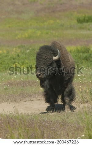 Bison standing in field at the National Elk and Bison Range in Montana - stock photo