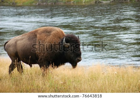Bison walking along a river in Yellowstone - stock photo
