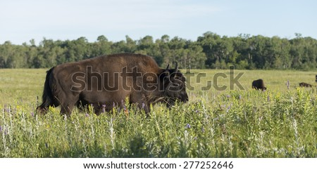 Bison walking in a field, Lake Audy Campground, Riding Mountain National Park, Manitoba, Canada - stock photo