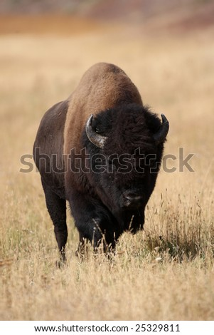 Bison Walking in Yellowstone National Park