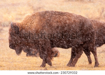 Bison walks through a snowstorm, Yellowstone National Park in winter - stock photo