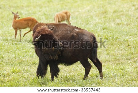 Bison with head turned