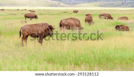 Bisons, American buffalo