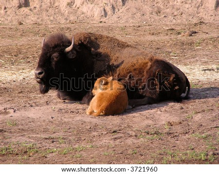 bisons family - stock photo