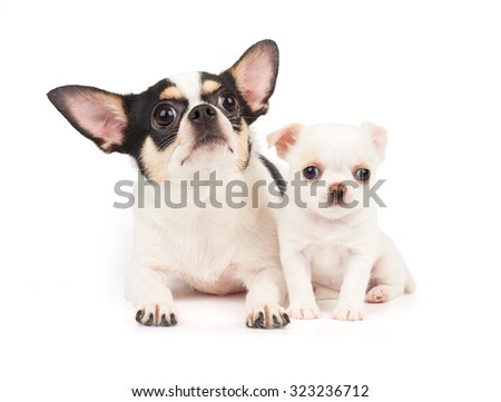 Bitch of Chihuahua and its white puppy together - stock photo