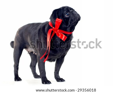 Blac Pug with red bow on neck