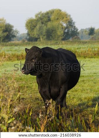 Black Aberdeen Angus pedigree bull on English farm - stock photo