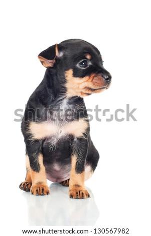 black adorable puppy portrait - stock photo
