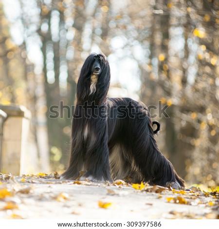 black afghan hound posing on autumn park - stock photo