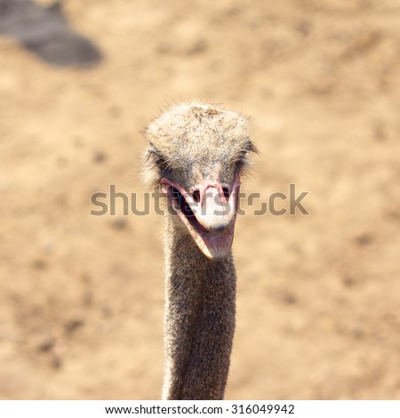 black african ostrich, Struthio Camelus, head closeup - stock photo