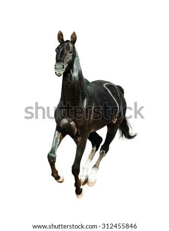 black akhal-teke horse runs free isolated on white - stock photo