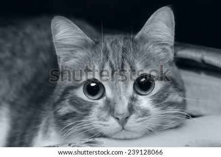 Black an white portrait of a beautiful cat - stock photo