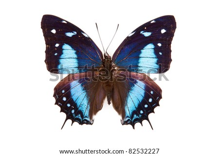 Black and blue butterfly Baeotus japetus isolated on white background - stock photo