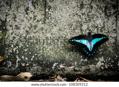 Black and blue butterfly sitting on a tree trunk with dry leaves at the bottom. - stock photo