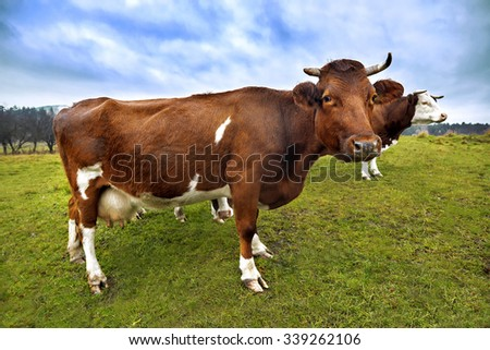 Black and Brown Cows Looking at Camera. Cow in the field. Cows. - stock photo